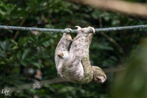 An einem Seil kletterndes Faultier in Costa Rica