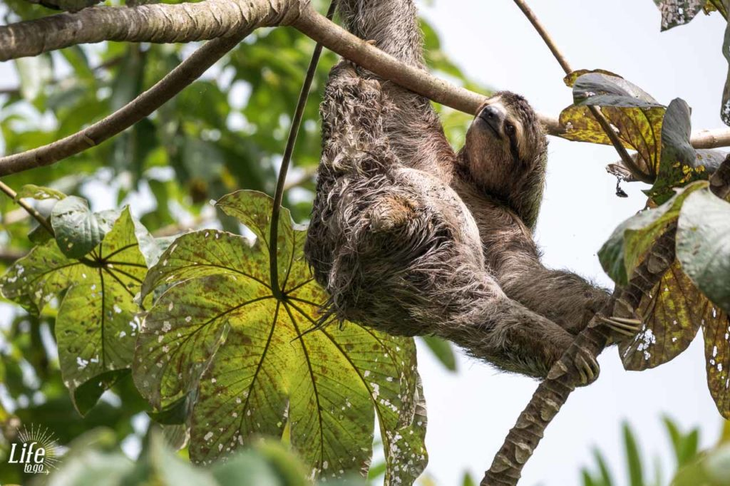 wild Sloth in Costa Rica hanging between Trees