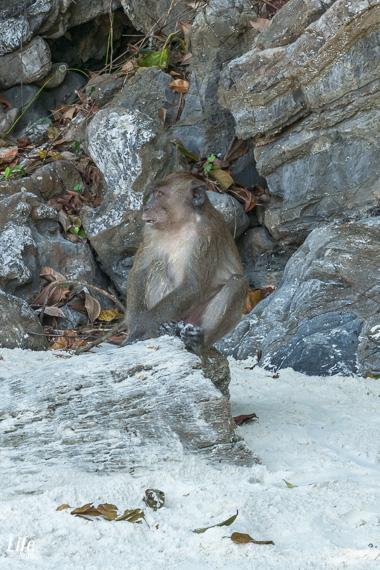 Monkey Beach Affe Koh Phi Phi Don