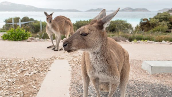 Kängurus Lucky Bay