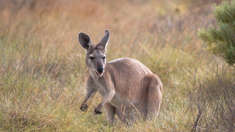 Cape Range Nationalpark Känguru in Westaustralien