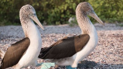 Blaufußtölpel Galapagos Inseln