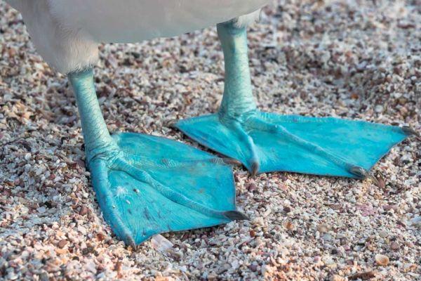 Blaufußtölpel Galapagos Inseln blaue Füße