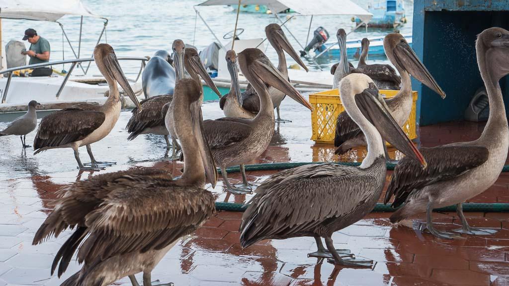Galapagos Fischmarkt Pelikane Santa Cruz
