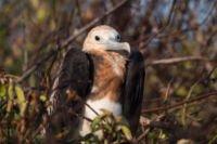 junger Fregattvogel Galapagos Inseln