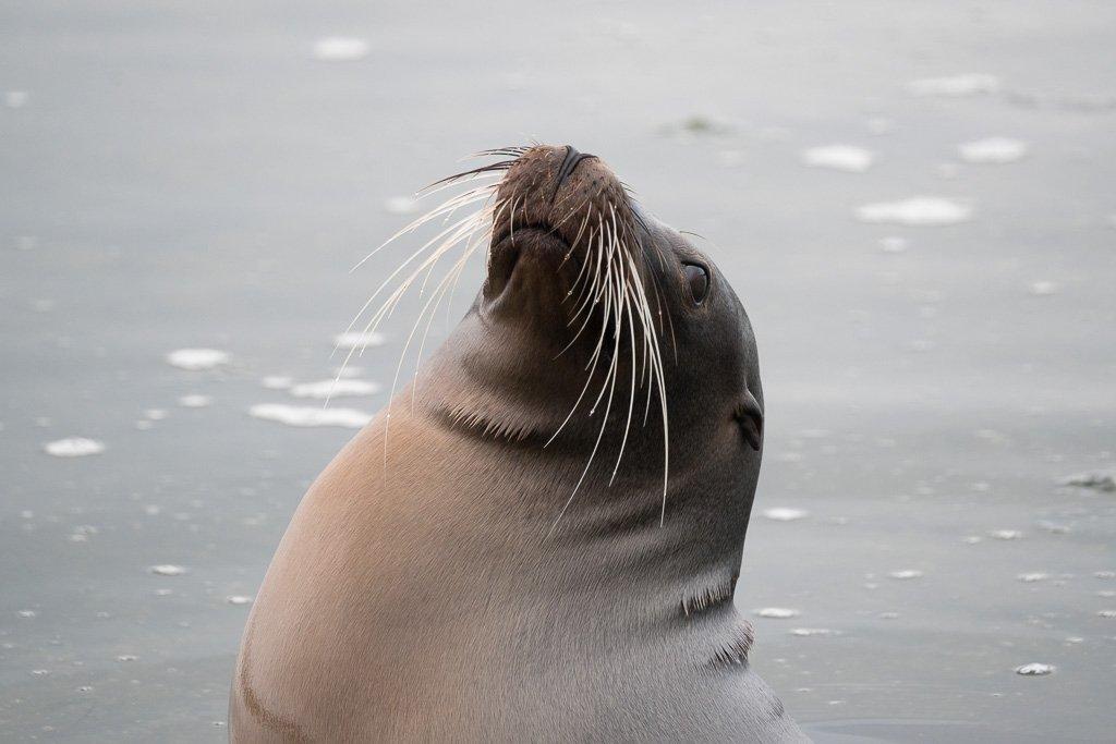 Seelöwe Galapagos Inseln