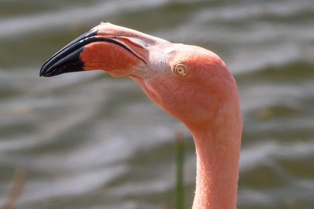 Flamingo Galapagos Inseln