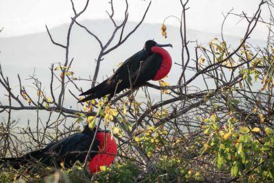 Fregattvogel auf den Galapagos Inseln