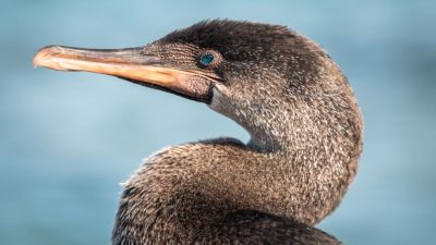 Kormoran Galapagos Inseln Reisetipps