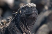 endemische Galapagos Meerechse