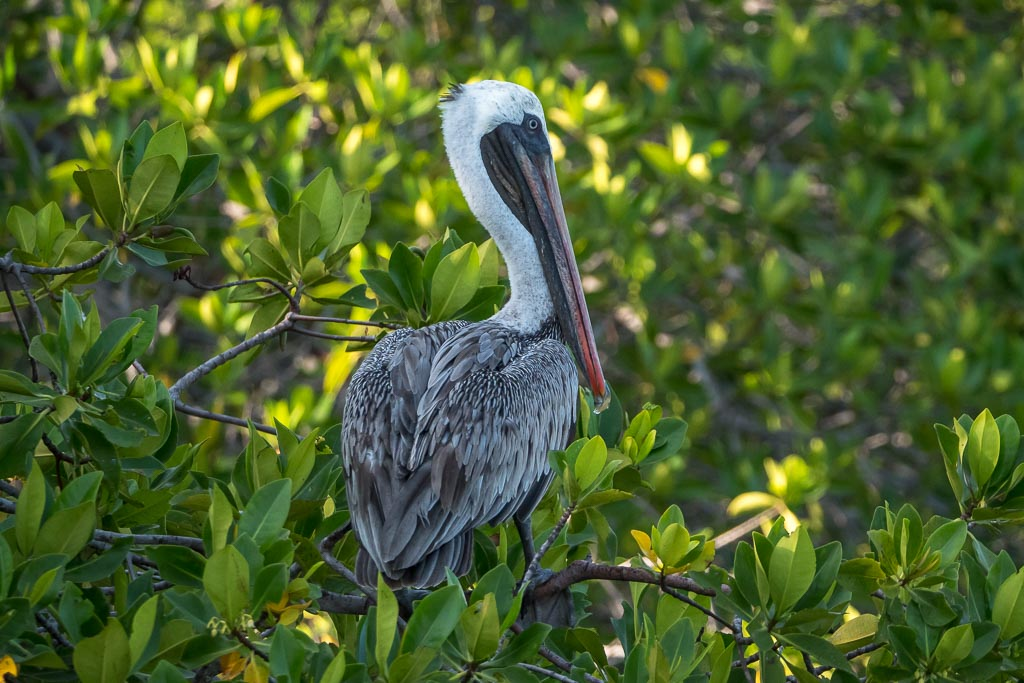 Pelikan Galapagos Inseln
