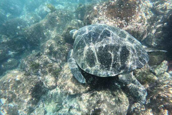 schnorcheln mit Galapagos Schildkröten