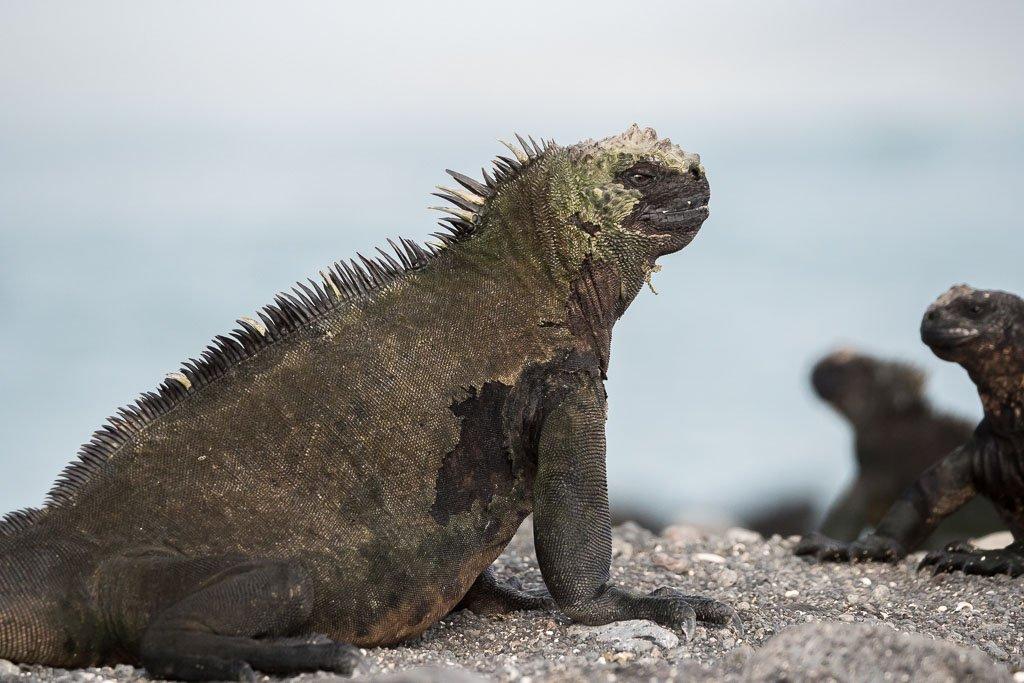 endemischer Galapagos Iguana