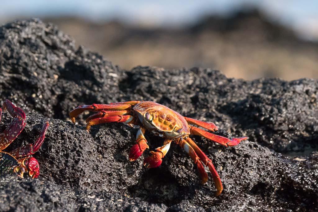 Galapagos Krabbe