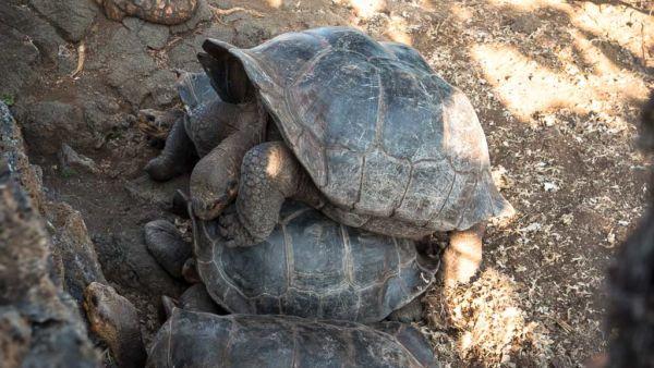 Paarungszeit Galapagos Inseln Schildkröten