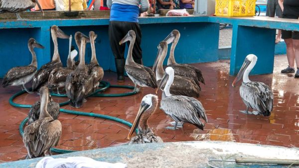 Pelikane Puerto Ayora Fischmarkt auf Santa Cruz