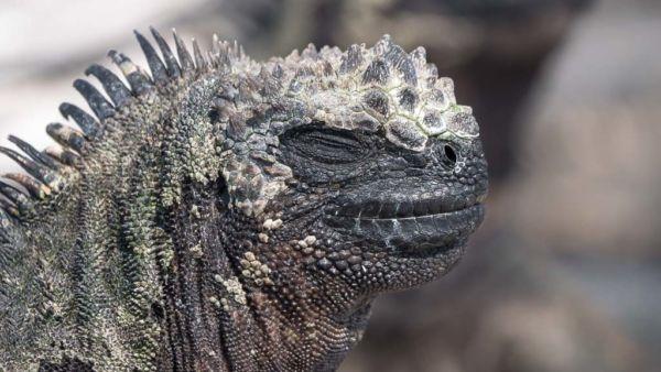 beste Reisezeit Galapagos Tiere Echse