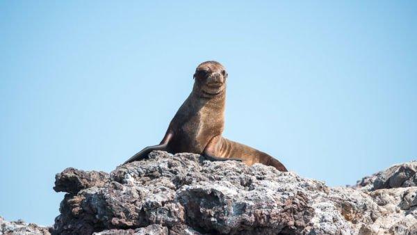 Jungtier Seelöwe Galapagos Inseln