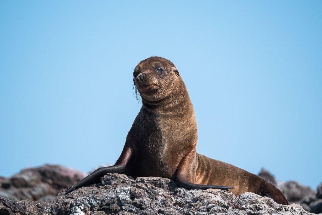 Galapagos Inseln junger Seelöwe