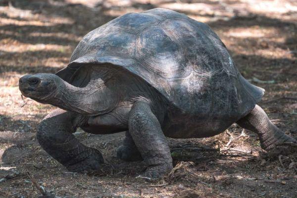große Galapagos Schildkröte