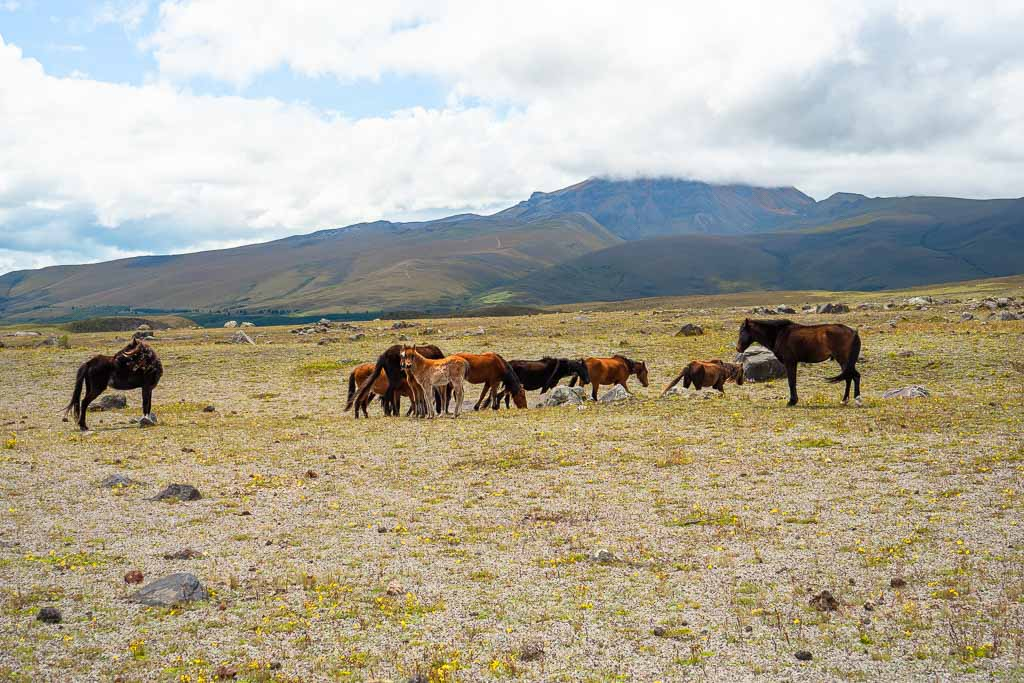 Cotopaxi Nationalpark Wilde Pferde