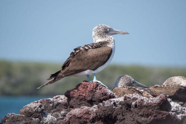 Blue-footed Booby Galapagos Inseln