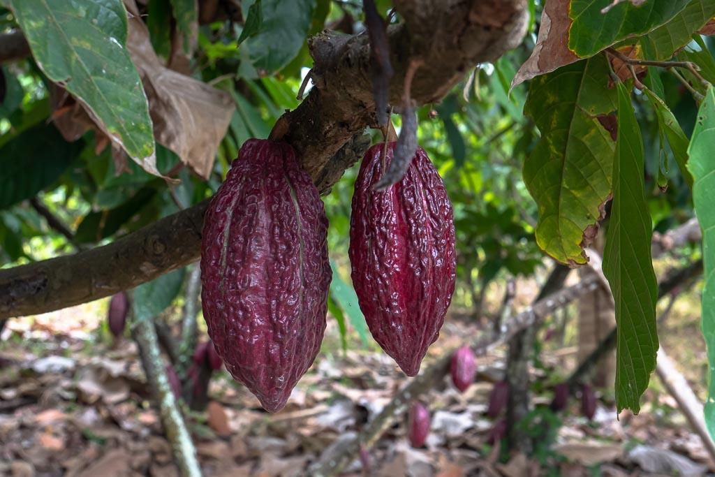 Ecuador Kakao-Farm