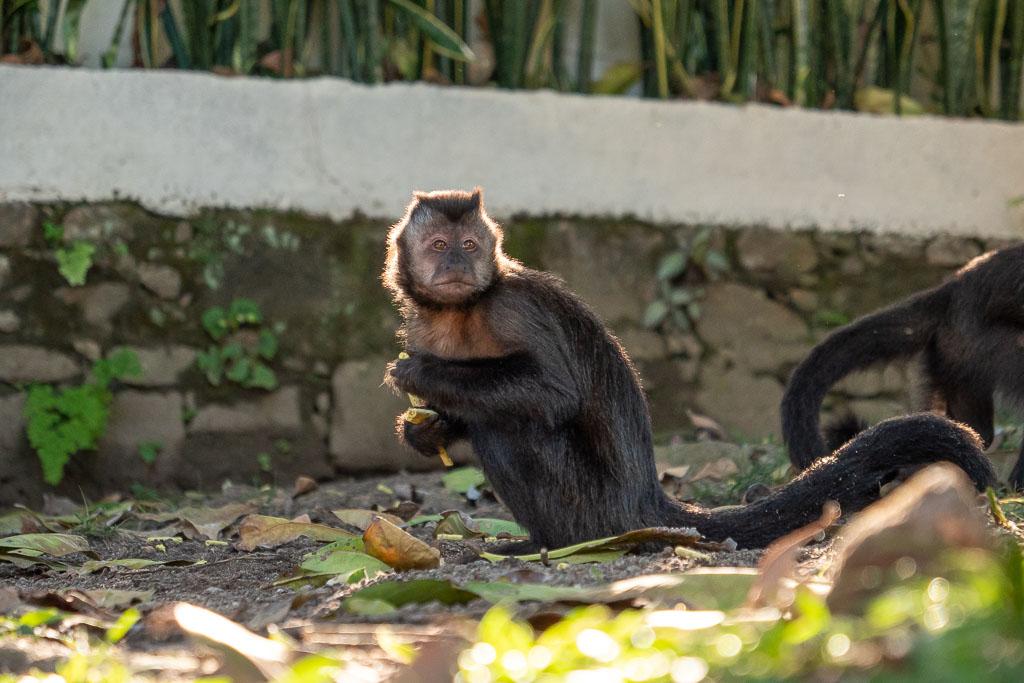 Affen Botanischer Garten Rio de Janeiro