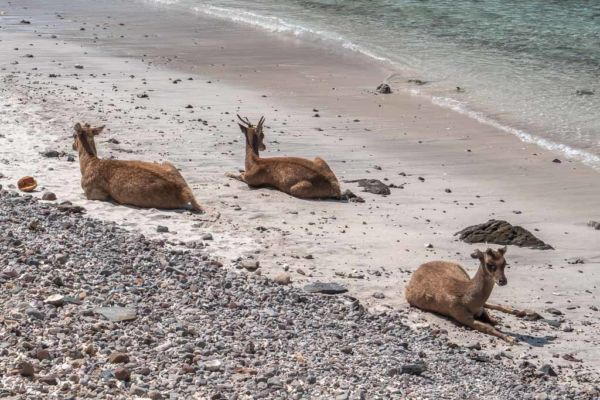 Padar Island Hirsche und Rehe