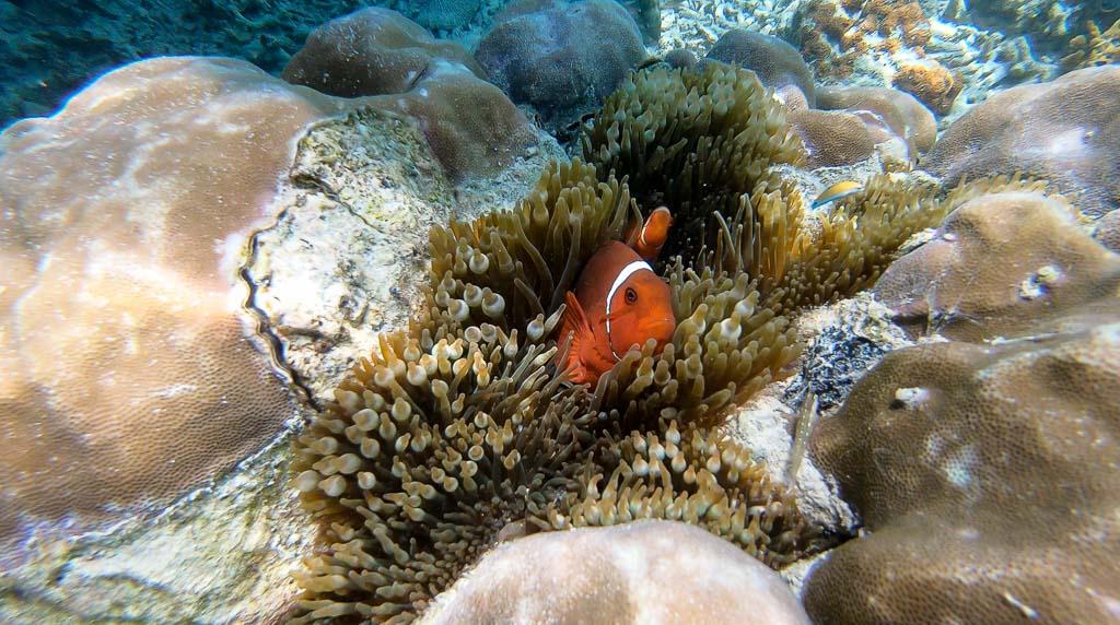 Nemo Fisch Kanawa Island Komodo Nationalpark