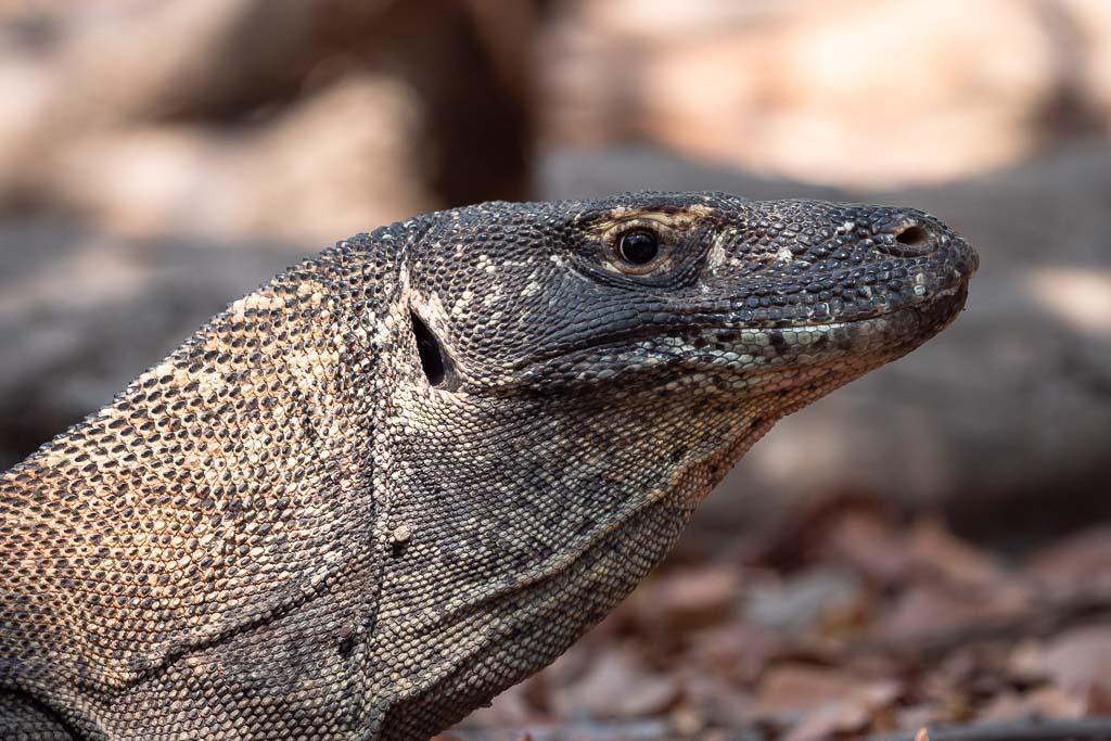 Rinca Island Komodo Dragon