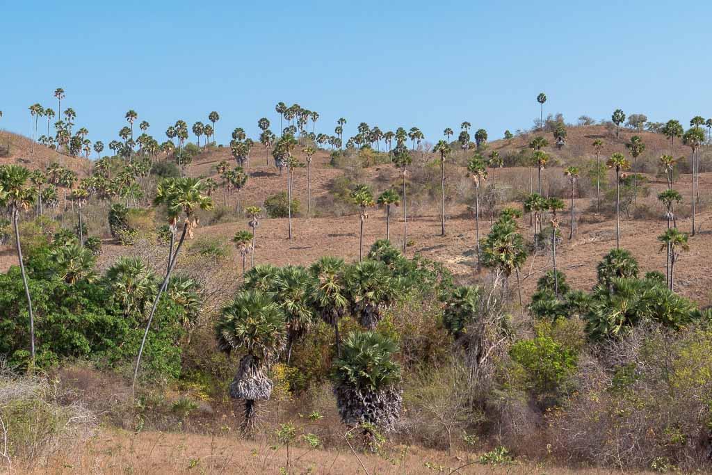 Rinca Island Wanderung Palmen