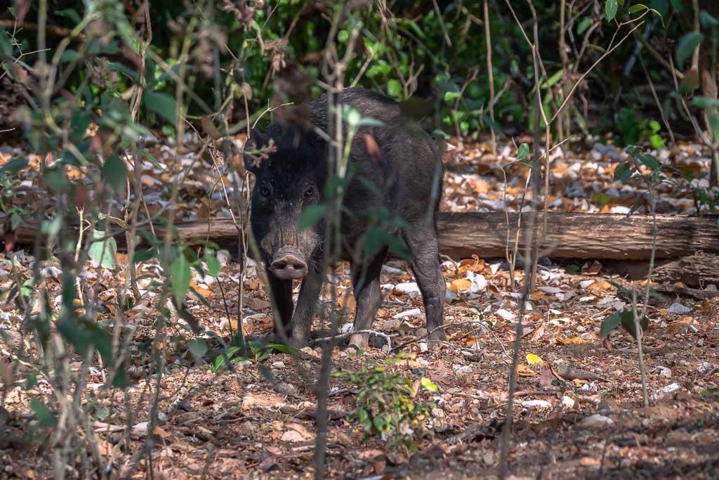 Wildschwein Komodo Island