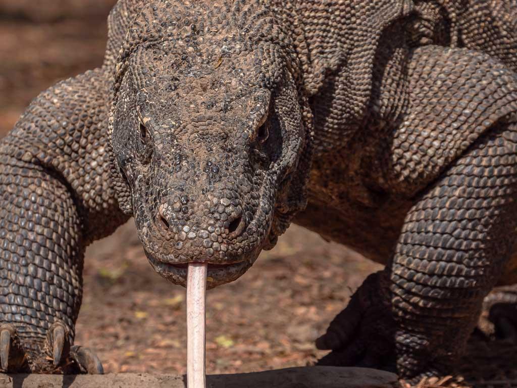 aggressiver Komodowaran im Komodo Nationalpark auf Komodo Island
