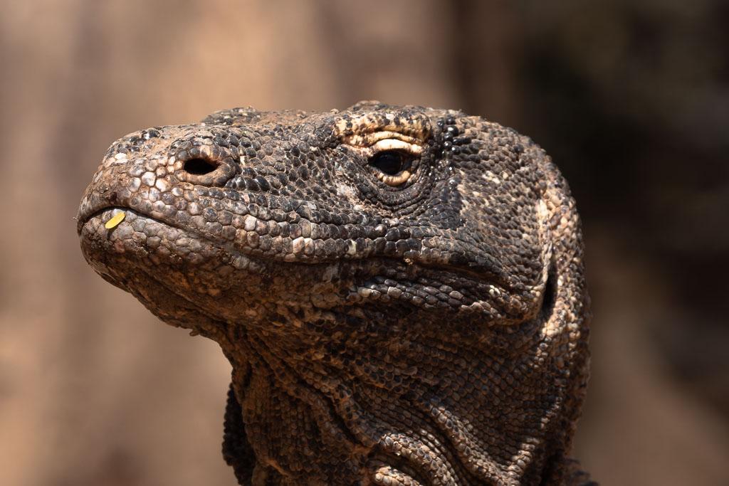 Komodo Island großer Komodowaran