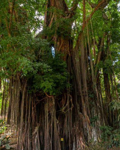 Old Enchanted Balete Tree Siquijor Sehenswürdigkeiten
